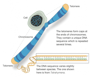 Telomere Aging Process