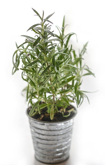 Rosemary is a perfect kitchen herb