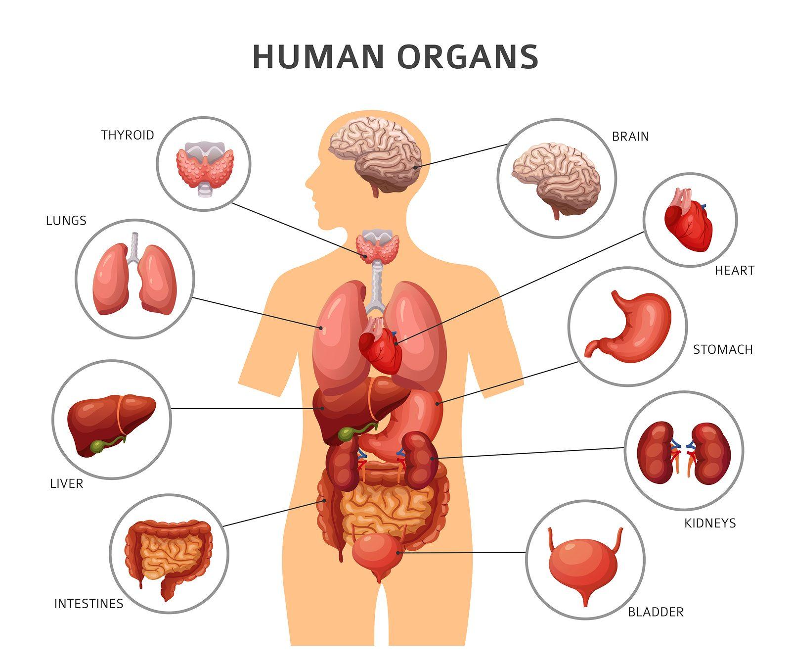 Bioprinting Human Organs